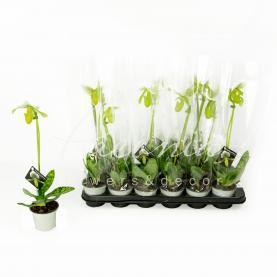 Пафіопеділум (орхідея) 9*30 Maudiae Femma