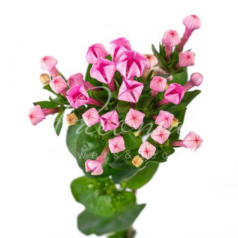 Бувардія Royal Daphne Fresco рожева 60см