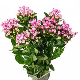 Бувардия Royal Daphne Fresco розовая 60см