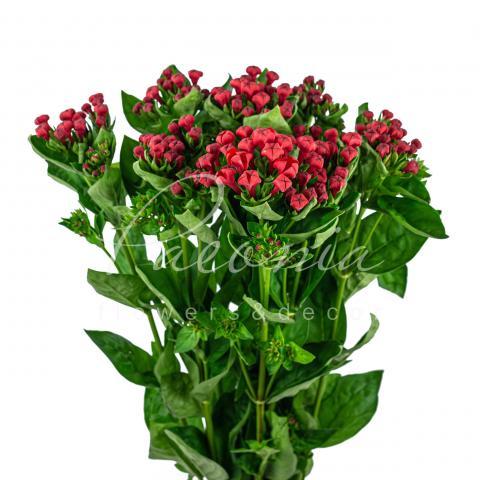 Бувардія Royal Red червона 70см