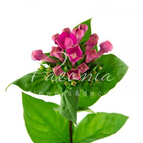 Бувардія Royal Violet фіолетова 60см