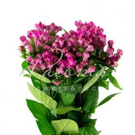 Бувардия Royal Violet фиолетовая 60см