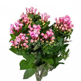 Бувардия Sweet Roza нежно-розовая 40см
