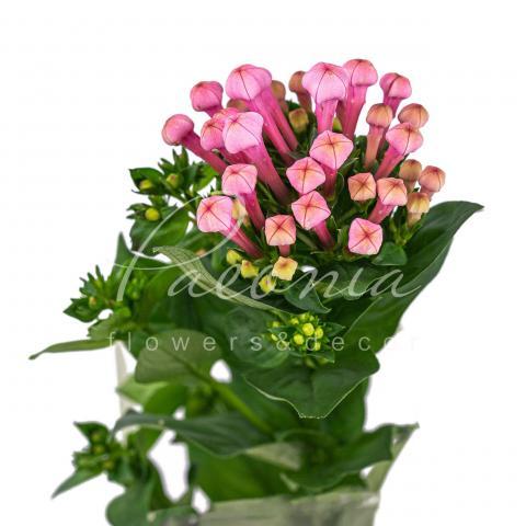 Бувардія Sweet Roza ніжно-рожева 40см