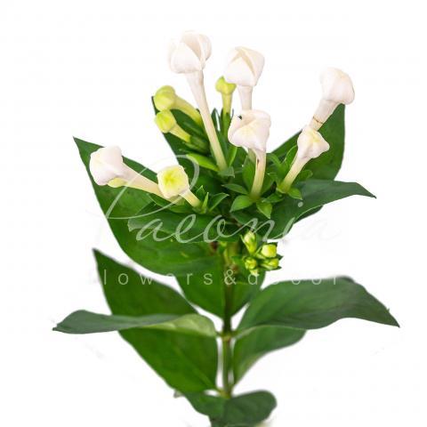 Бувардія Daphne Supreme біла 40см