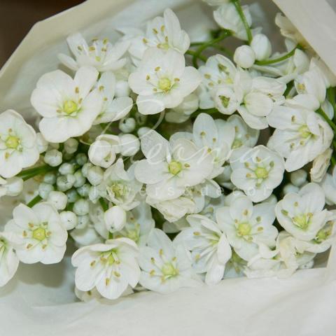 Аліум Neоpolitanum білий 42см