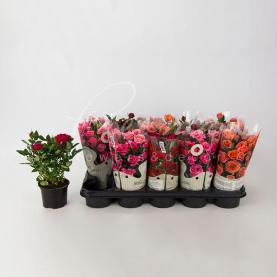 Троянда 10*25-30 Kordana мікс