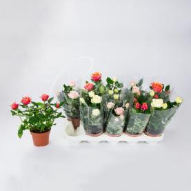 Троянда 12*30 великоголова мікс