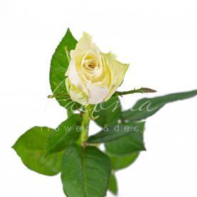 Троянда Athena 50см