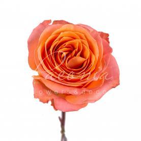 Троянда Coral Reef 60см