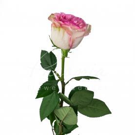 Троянда Esperance 60см