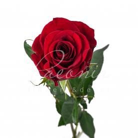 Роза FREEDOM 60см