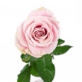 Троянда Pink Mondial 50см