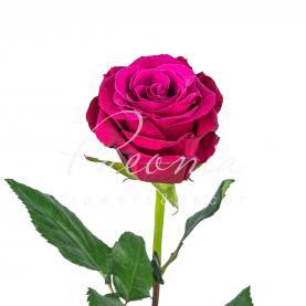 Троянда TOPAZ 60см