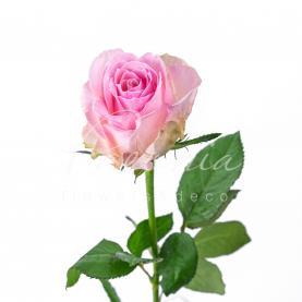 Троянда піоновидна Avalanche Sorbet 50см