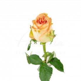 Троянда піоновидна Barbarella 35см