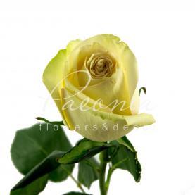 Троянда піоновидна Dynamic 50см
