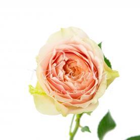 Троянда піоновидна Gravity 50см