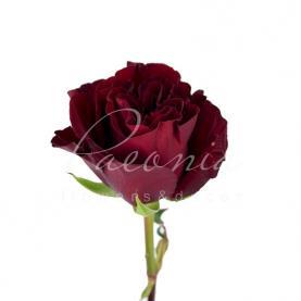 Троянда піоновидна HEARTS 50см