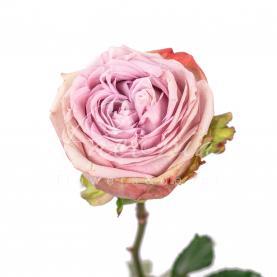 Троянда піоновидна Lilac Wonder 40см