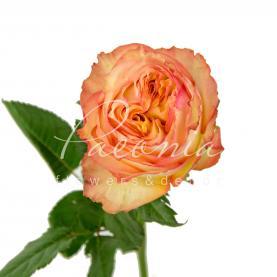 Троянда піоновидна Miraculous 50см