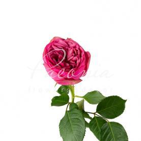 Троянда піоновидна Pink Piano Freiland (Кенія) 35см