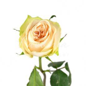 Троянда піоновидна Wedding Rose 40см