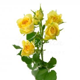Троянда спрей Bandolero 40см