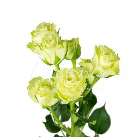 Троянда спрей Green Glow 40см