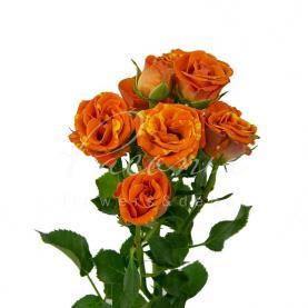 Троянда спрей Smashing 40см