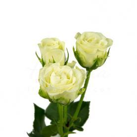 Троянда спрей Snowflake 40см