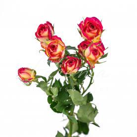 Троянда спрей Summer Dance 40см