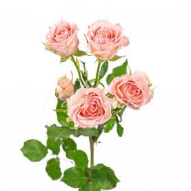 Троянда спрей Sweet Sara 40см