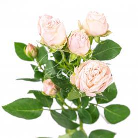 Троянда спрей піоновидна Bombastic 40см