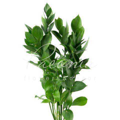 Рускус 55см (ціна за 1 стебло)
