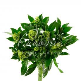 Скіммія Green 45см (ціна за 1 пучок)
