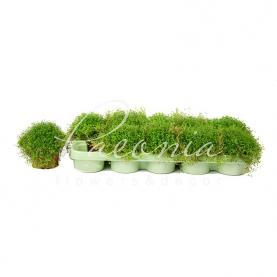 Солейролія 11*15 зелена