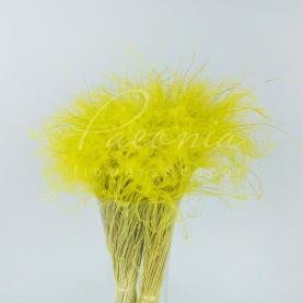 Сухоцвіт Ковила жовтий
