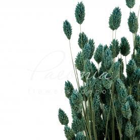 Сухоцвіт фаляріс блакитний маленький пучок