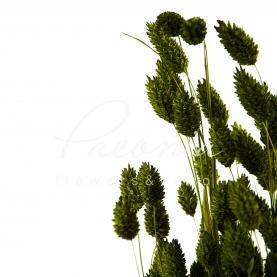 Сухоцвіт фаляріс оливковий маленький пучок