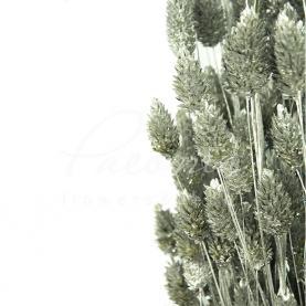 Сухоцвіт фаляріс сріблястий маленький пучок