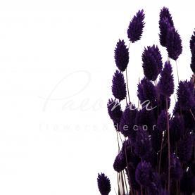 Сухоцвіт фаляріс темно-фіолетовий