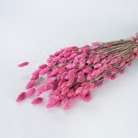 Сухоцвіт фаляріс яскраво-рожевий