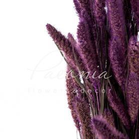 Сухоцвіт сетарея фіолетовий