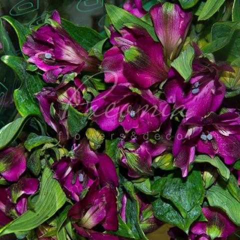 Альстромерія Carline темно-фіолетова 75см