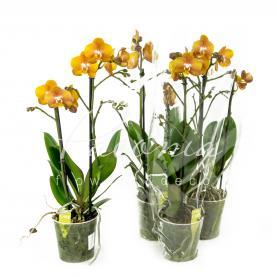 Фаленопсис (орхідея) 12*45 2 стовбура Las Vegas (Opti-flor)