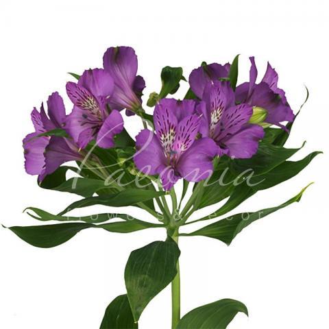 Альстромерія Cleo фіолетова 75см