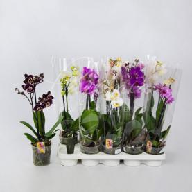 Фаленопсис (орхідея) 12*50 1 стовбур мікс (Anthura BV)