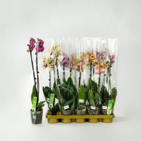 Фаленопсис (орхідея) 12*50 2 стовбура мікс (Green Balanz)