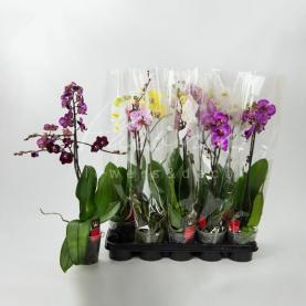 Фаленопсис (орхідея) 12*65 1 стовбур мікс (Bernhard)